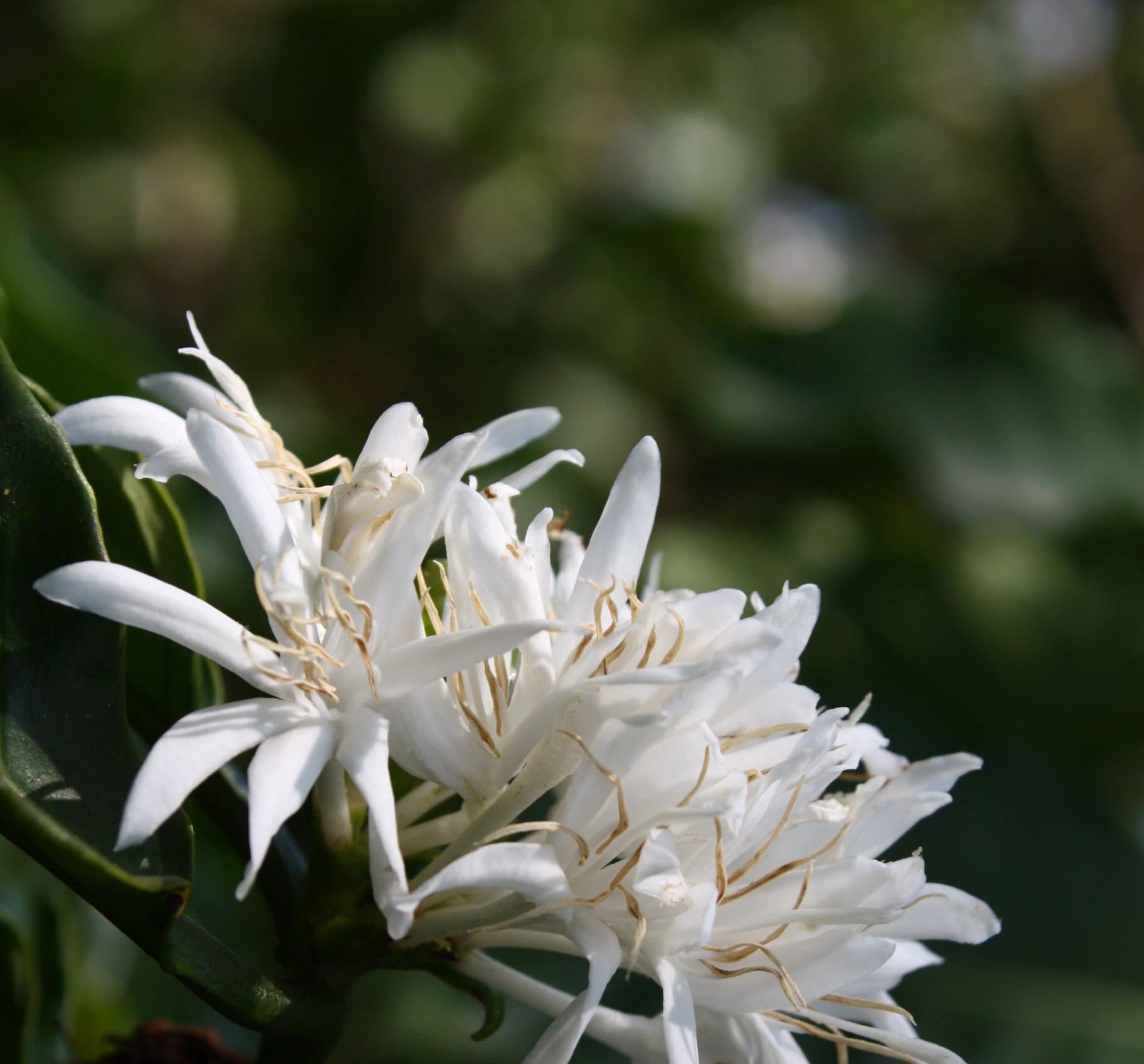 Kávé virág